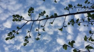 elm leaves and clouds